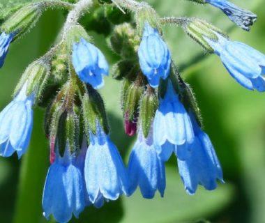 La consoude, une plante à purin