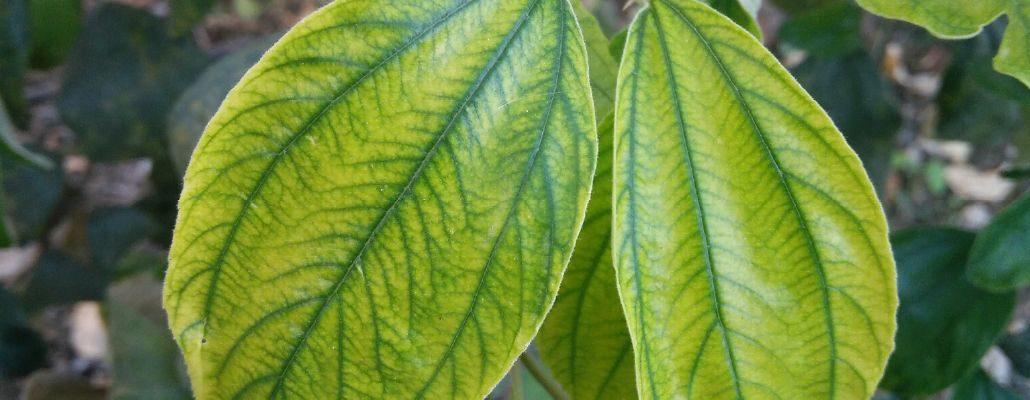 chlorophylle de doigts de gant