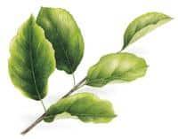 Illustration du jaunissement de feuilles