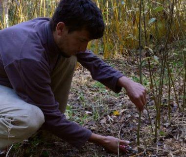 Jardinier qui récolte des brins de saule au sécateur