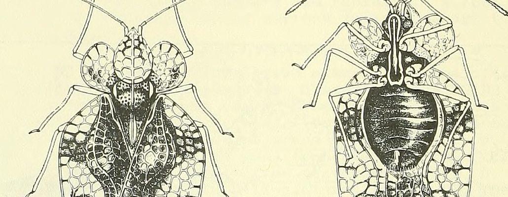 Dessin de l'insecte