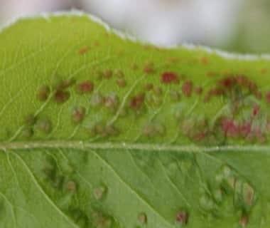 Feuille atteinte par le phytopte du poirier
