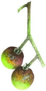 Fruit atteint par le mildiou