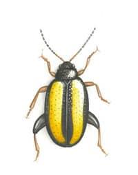 Dessin d'un altise Phyllotreta nemorum (bandes jaunes et élytres noirs)