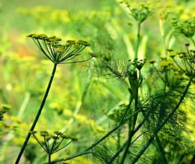 Fleurs ombelles anis