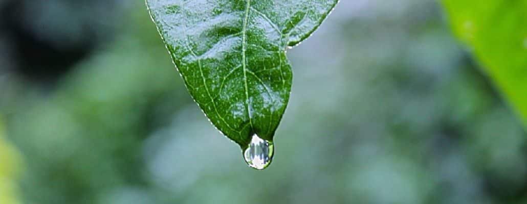 Eau pluviale : une goutte qui tombe d'une feuille