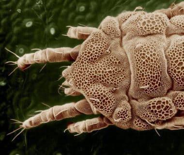 Acarien au microscope