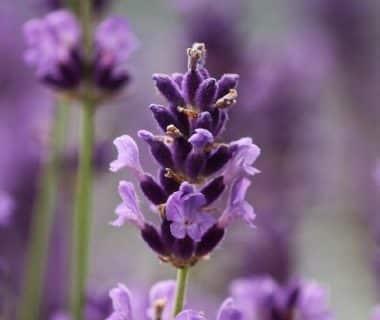 Zoom sur les fleurs de lavande