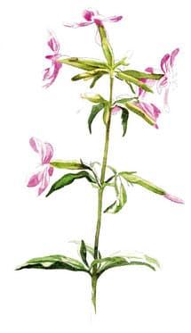 Illustration d'une fleur de saponaire