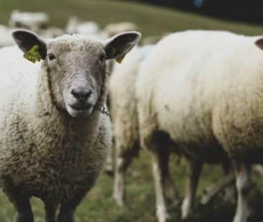 Deux moutons qui nous regardent et le reste du troupeau en arrière plan
