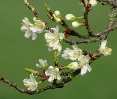 Bourgeons et fleurs de Prunus