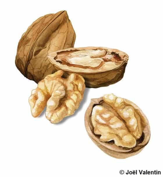 Illustration de noix fermées et ouvertes