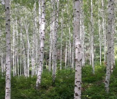 Bouleaux dans une forêt
