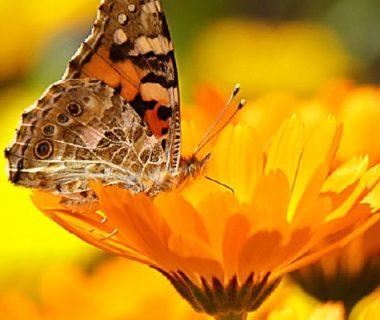 Photo d'un papillon sur un souci
