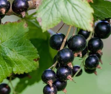 Baies noires sur arbuste