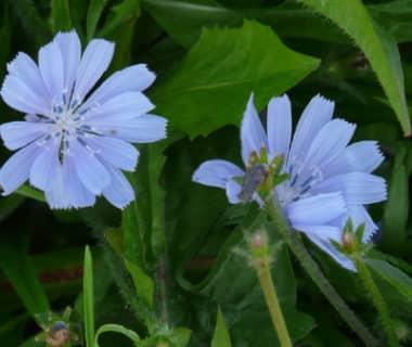 Fleurs de chicorée sauvage