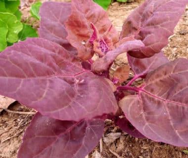 Atriplex hortensis pourpre