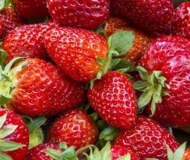 Récolte de fraises