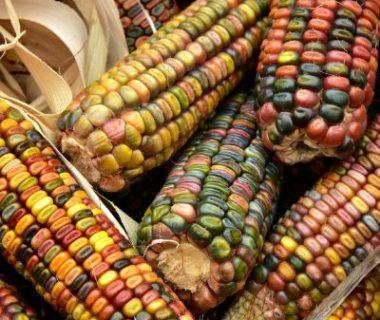 Épis de maïs multicolores