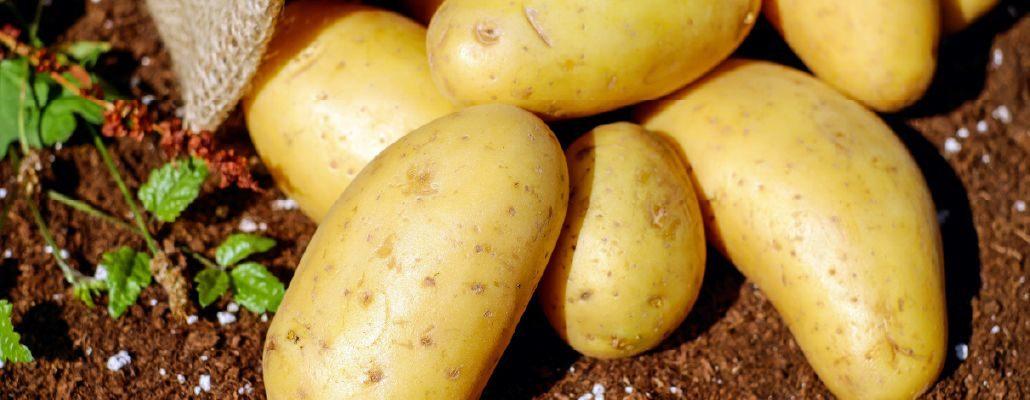 Culture pomme de terre