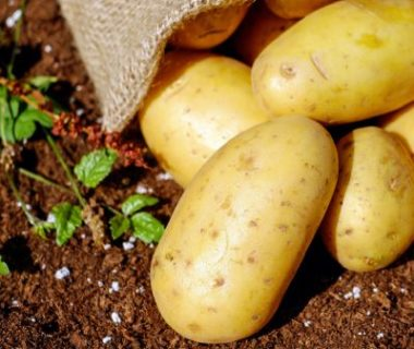 Pomme de terre potager