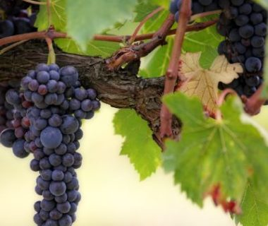 Culture vigne cep