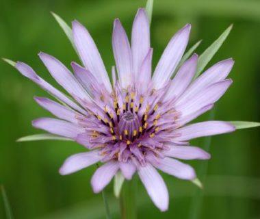 Fleur violette du salsifis