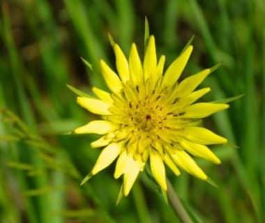 Fleur de scorsonère