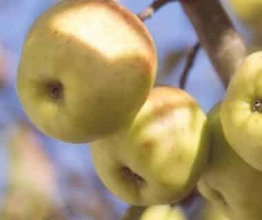 Quatre pommes vertes sur une branche