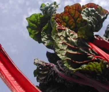Vue en contre-plongée de blettes à cardes rouges