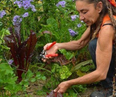 Une femme qui récolte des feuilles de blettes dans son potager