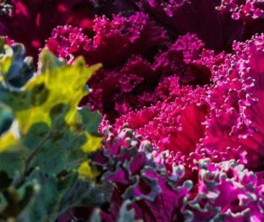 Gros plan sur un chou rouge du jardin