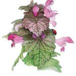 Les plantes sauvages et spontanées du jardin 4