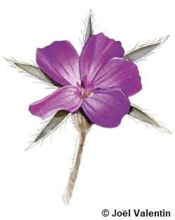 Dessin d'une nielle des blés, une fleur violette