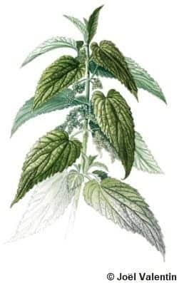 Dessin d'ortie : une plante aux feuilles piquantes