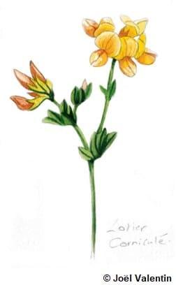 Dessin d'un lotier, une fleur jaune