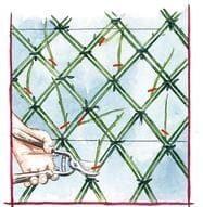Dessin d'une taille de l'osier au ras de la structure au sécateur