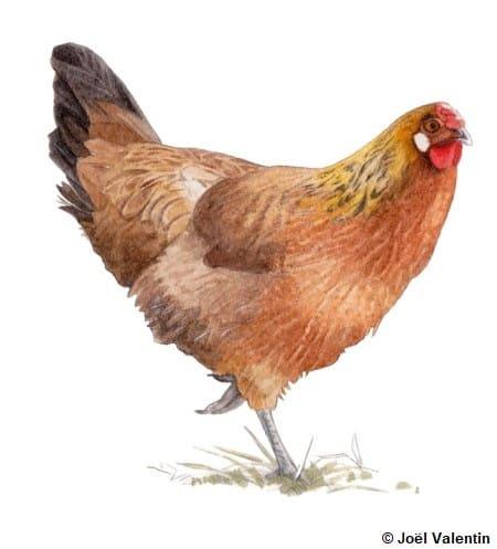 Dessin d'une poule d'Alsace