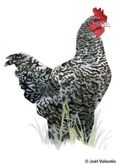Dessin d'une poule noir et blanche : la Coucou de Rennes