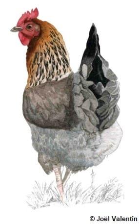 Dessin d'une poule Marans