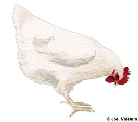 Dessin d'une poule Gâtinaise