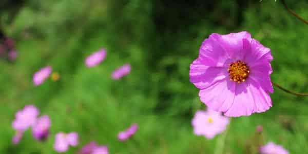5 fleurs qui favorisent la biodiversité 1