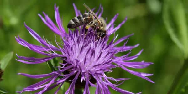 5 fleurs qui favorisent la biodiversité 3
