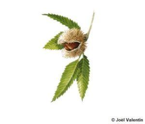 Illustration d'une châtaigne avec la graine visible à l'intérieur du fruit