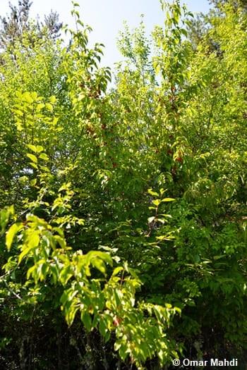 Branches de cornouiller