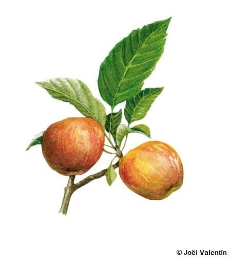 La pomme : bienfaits et culture