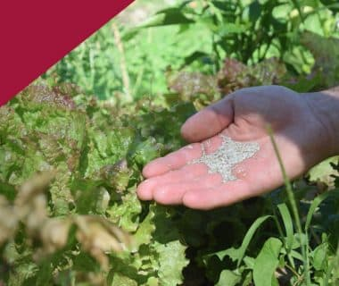 Récolter ses graines de salade