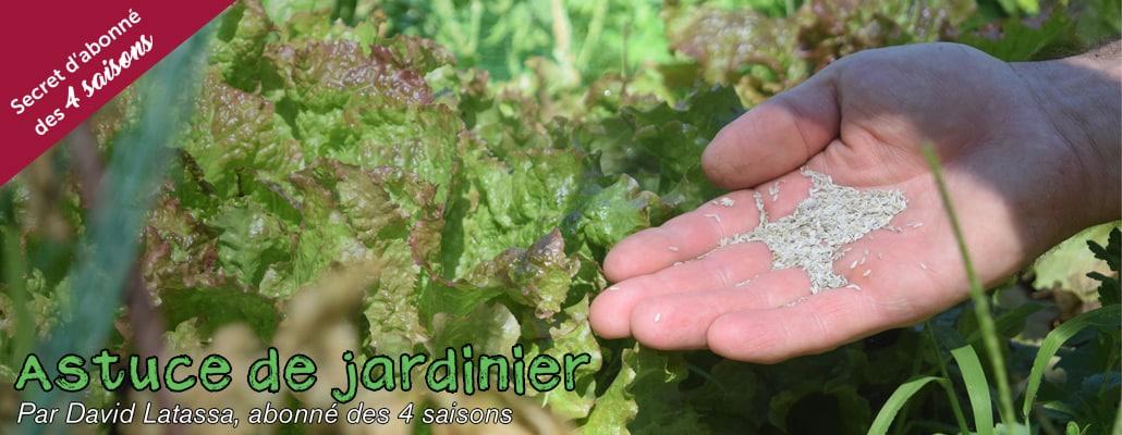 Récolter ses graines de salade 1
