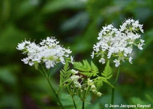 Petite plante aux fleurs blanches, le cerfeuil musqué