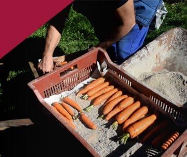 Conserver les légumes en silo pour l'hiver